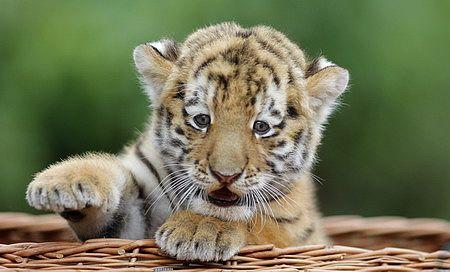 Tigre ACT