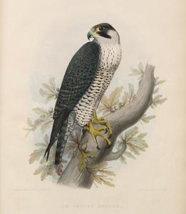 Le Faucon Hagard in 'Traité de Fauconnerie' by H Schlegel, 1853